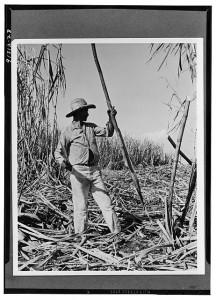 Harvesting Sugarcane in Cuba